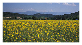 provence field of yellow flowers